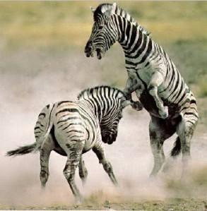 natgeo-zebra3